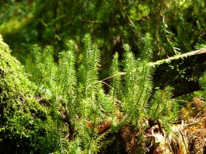 Bärlapp im Bayerischen Wald