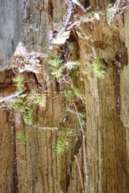 Zerfallender Baumstumpf am Knotenbach.