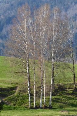 Birken in der sanft geschwungenen Wiese bei Hunding.