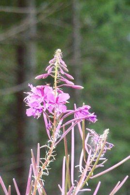 Beim Wandern auf den Lusen sieht man Weidenröschen.