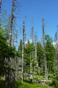 Stehende Dürrlinge - stehendes Totholz oder doch Biotopholz?