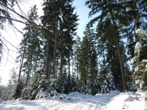 Forstweg - eine verschneite Idylle.