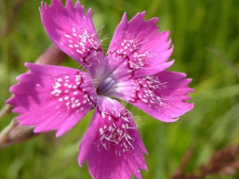 Nelke am Wegrand. Eine bunte Blume von vielen.