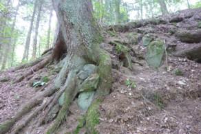 Wurzel krallen sich an Felsen fest 8
